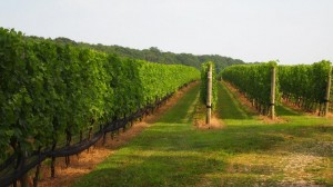 vineyards LI