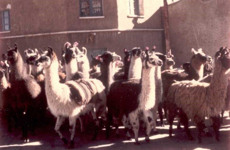 Revue llamas Potosi, Bolivia